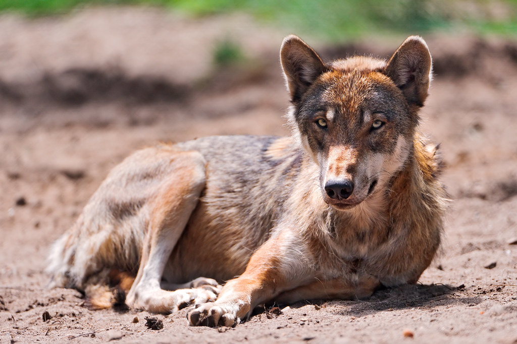 Lying wolf | One of the wolves with whom you can have an ...  Lying wolf | On...