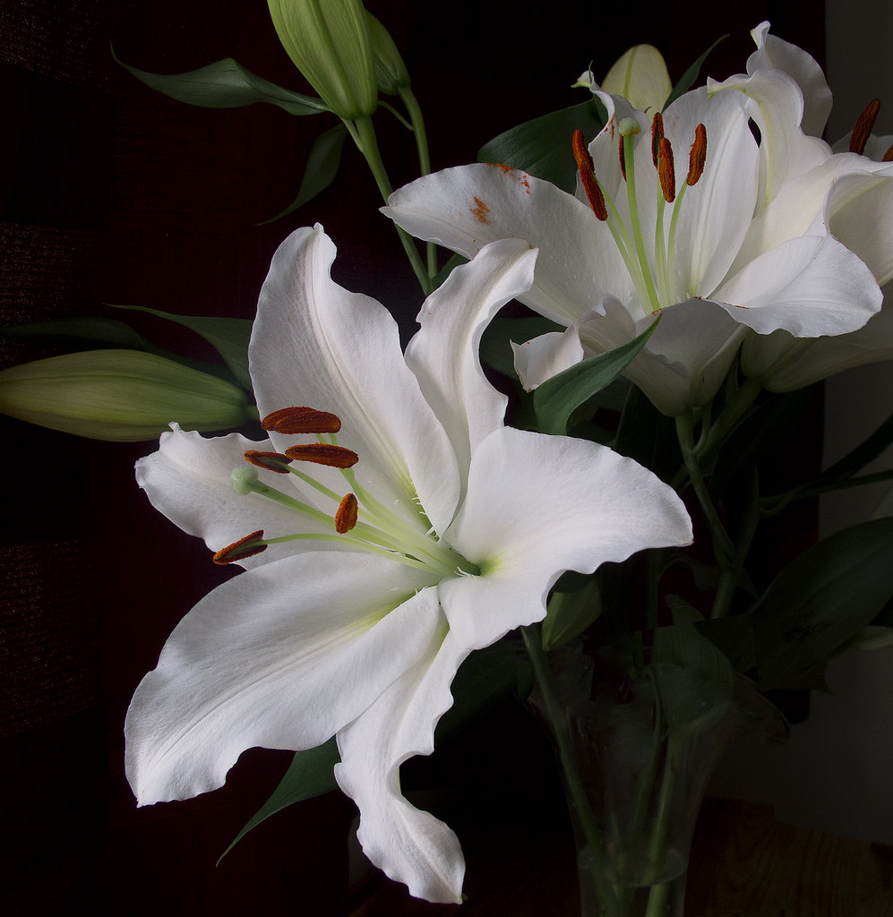 Image result for casablanca lily