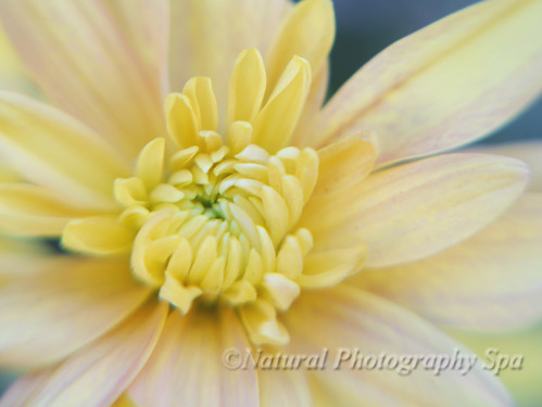 Shades of Color Yellow: Autumn Mums | by NaturalPhotographySpa