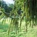 Evergreen Veil