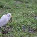20110920_008 黏滿種子的黃頭鷺