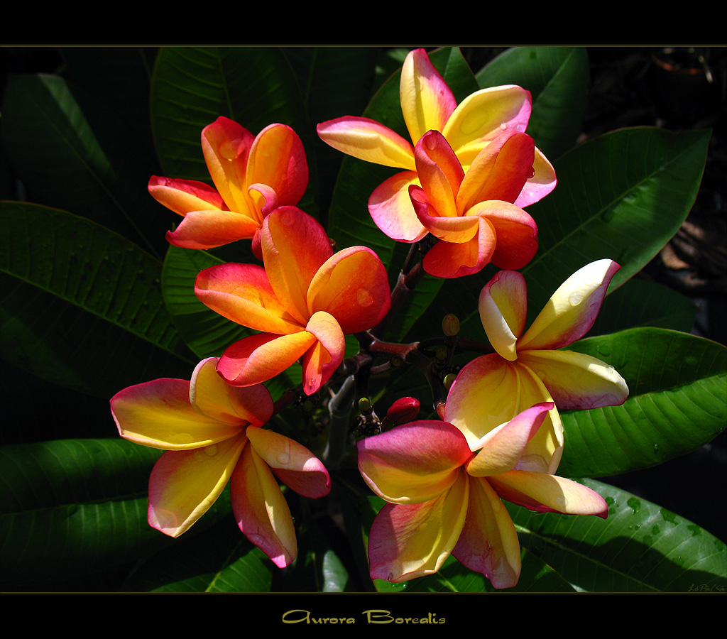 rare flowers the plumeria aurora borealis here is the