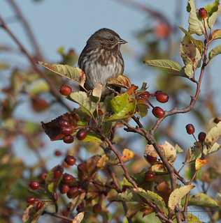 Song sparrow | by Through The Big Lens