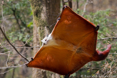 Giant Flying Squirrel | by Burrard-Lucas Wildlife Photography
