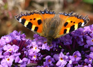 Preston Painted Lady | by Tony Worrall