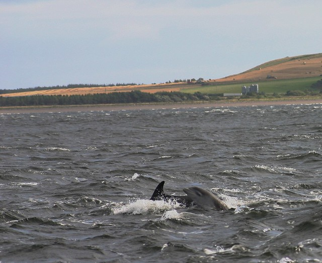 dolphin watching on the Black Isle in Scotland
