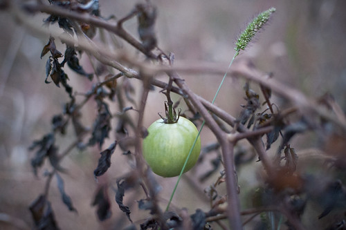 Green Tomato on a Withered Vine | by goingslowly