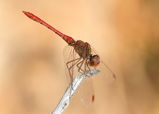 Red-veined Darter (Sympetrum fonscolombii) Male? | by Cymaii