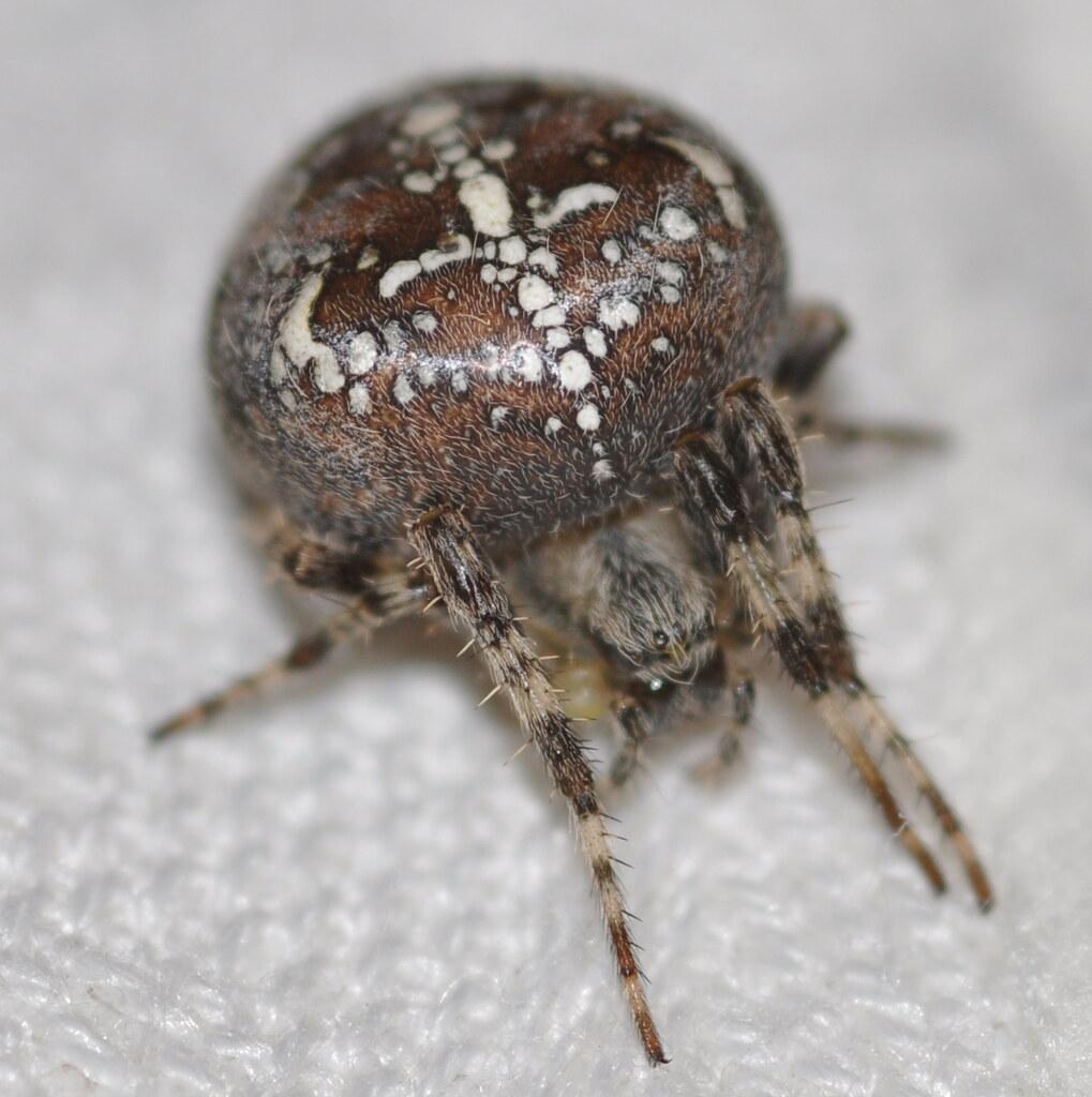 Garden Or Cross Spider - Araneus Diadematus