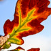 Turning Oak Leaf 1