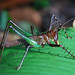 The orthopteran T. rex