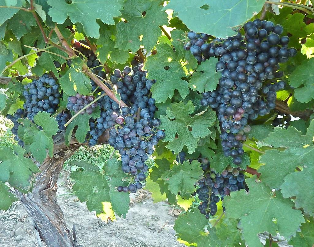Peller Estates Wine Tour