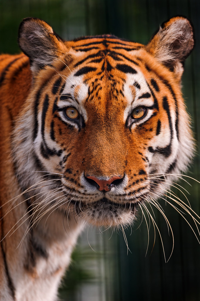 Tigress With Round Head I Also Really Like This Portrait