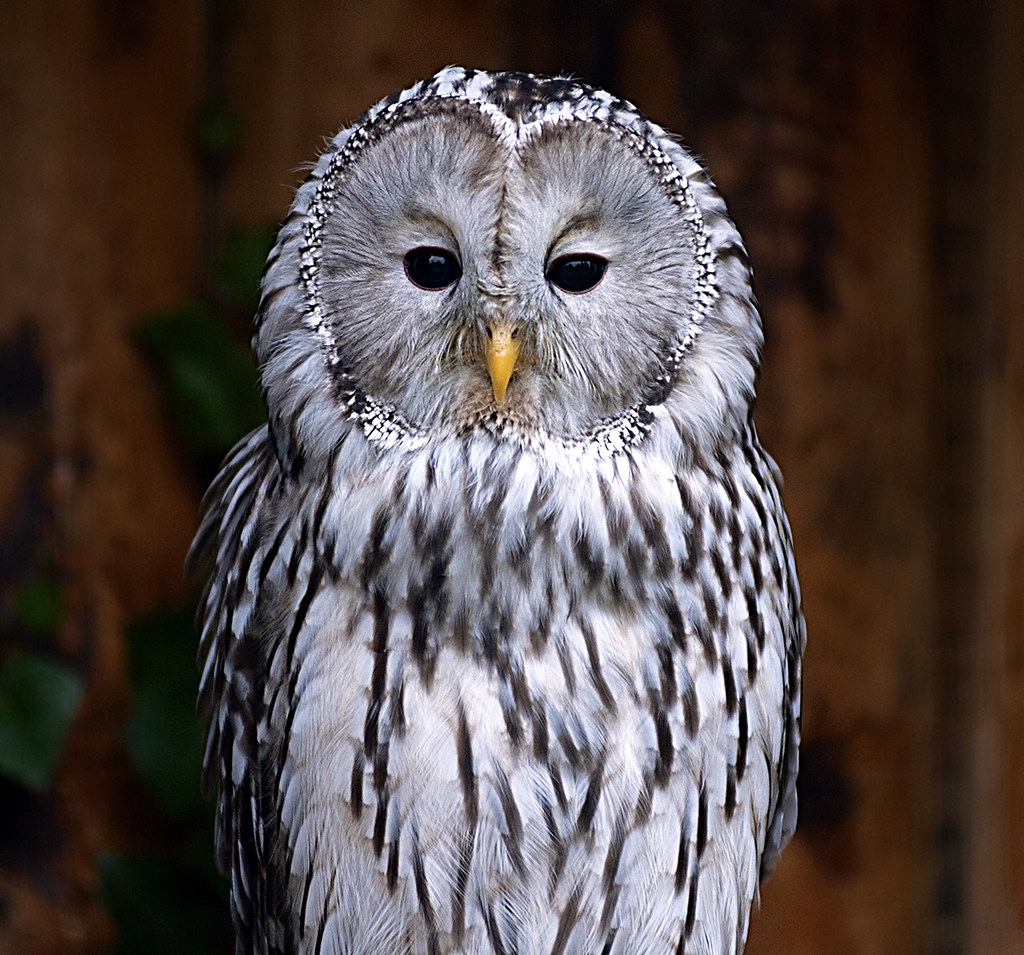 The National Ural Owl Strix Uralensis Photographed At Chester Zoo