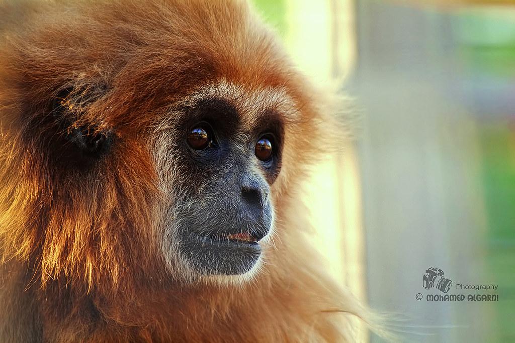 Gibbon Monkey Pictures Gibbon Monkey