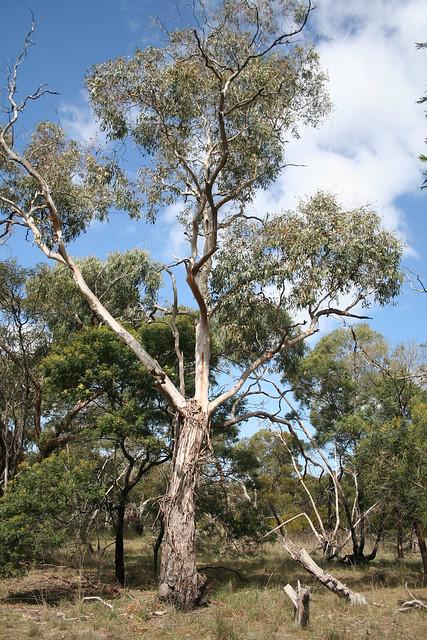 20110918_1106 Ribbon or Manna Gum - Eucalyptus viminalis ...