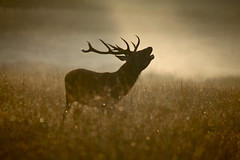 Stag baying at dawn by Rob Cox Photography LTD