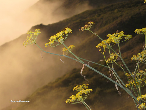 Big Sur Yellow Flowers and Fog | by GeorgeAlger.com