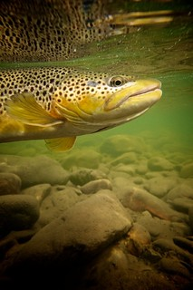 Fall Brown Trout 3 | by OrvisNews.com