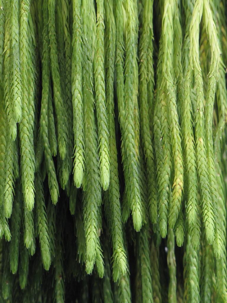 Huperzia carinata   One of the tropical tassel ferns ...