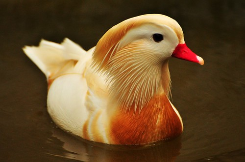 White Mandarin Duck | by ZILL NIAZI