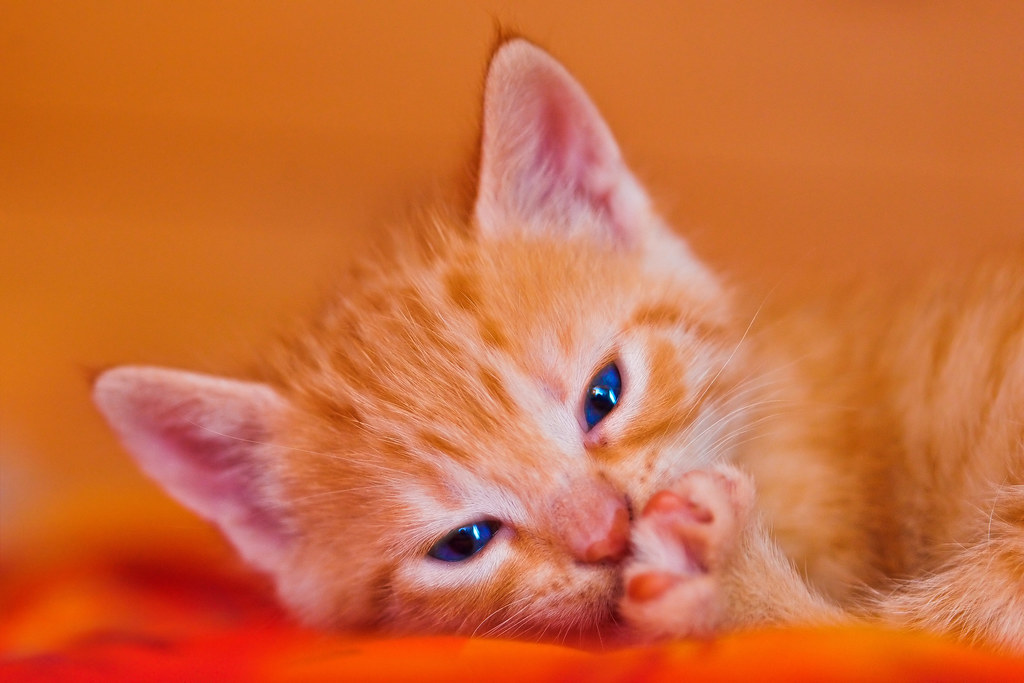 Cute tired red kitten