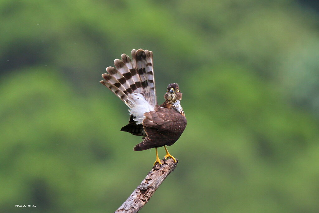 台灣松雀鷹 Besra(Asiatic) Sparrowhawk