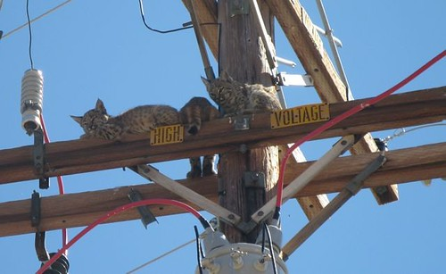 1bobcat2kittens patti jones janesville ca | by Contra Costa Times