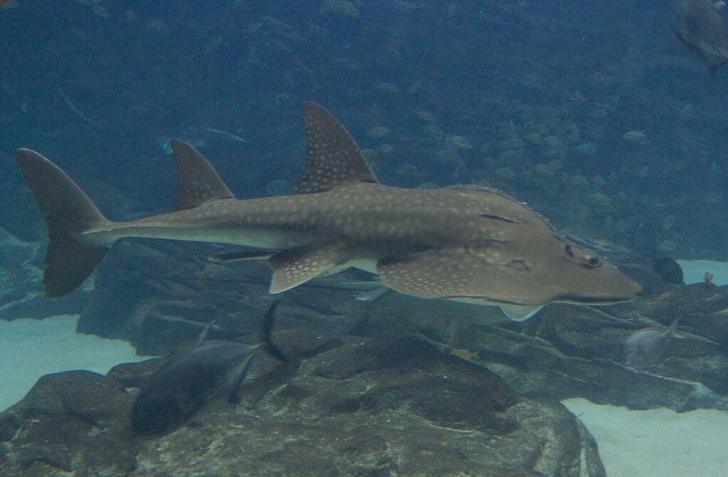 Image gallery skate shark for Skate fish facts