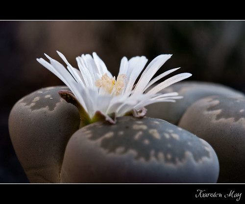 Lithops | by m@yphotos