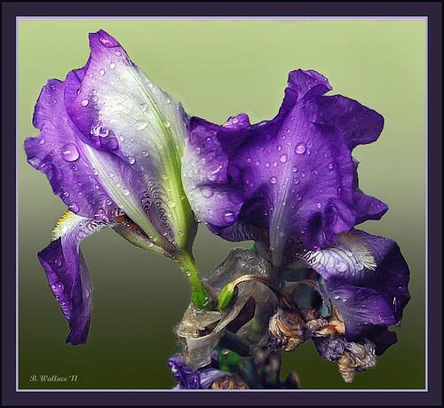 Iris Water Drops