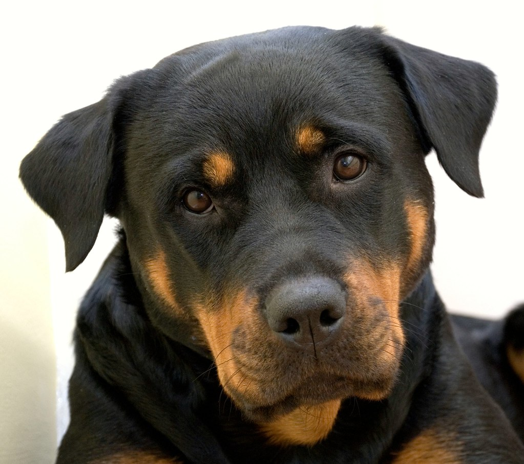 Rottweiler Portrait | Our first Rottie, who's life was sadly ...