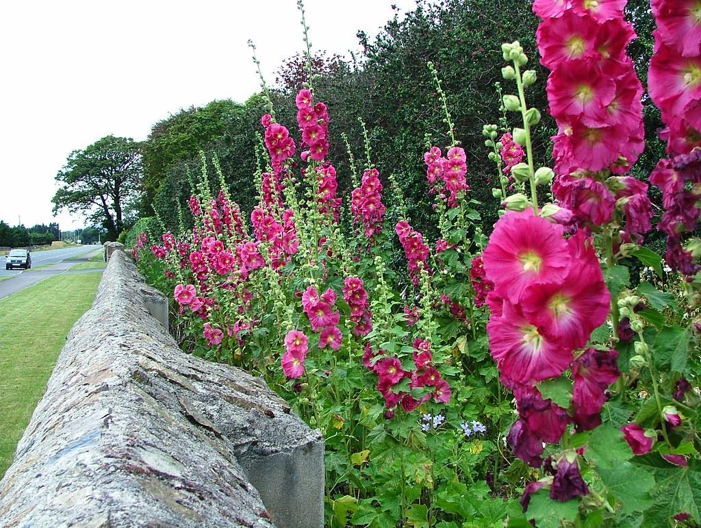 Dundalk rockmarshall hollyhock alcea rosea and escallo for Alcea rosea