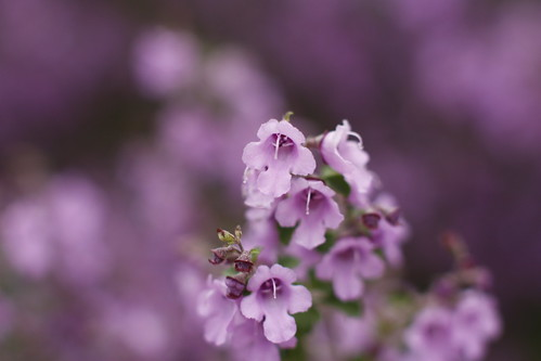 Prostanthera incisa | by louisa_catlover