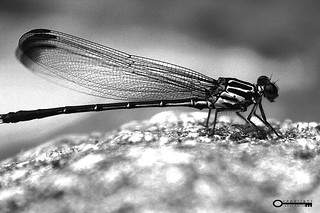 Portrait of a dragon fly | by Psychedelic Dulta