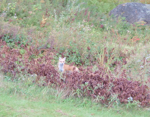 Mr. Fox 9/20/11 | by Great Glen Trails