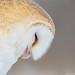 Barn Owl repose