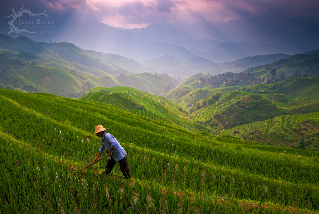 Longji rice terrace guilin china a worker grooms the for Terrace nature
