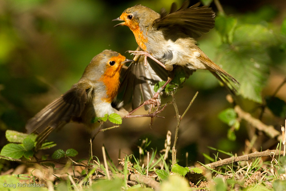 939 >> Robins fighting over territory | These two were having a goo… | Flickr