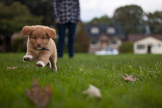 Introducing... Denver the Duck Toller! | by project-b