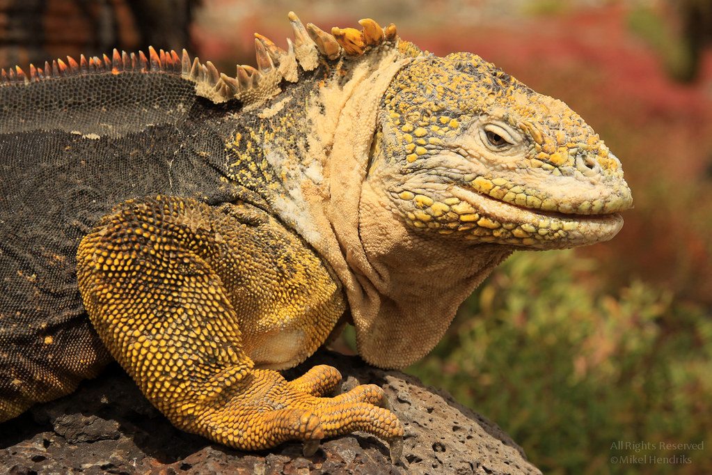 Galápagos Land Iguana (Conolophus subcristatus)