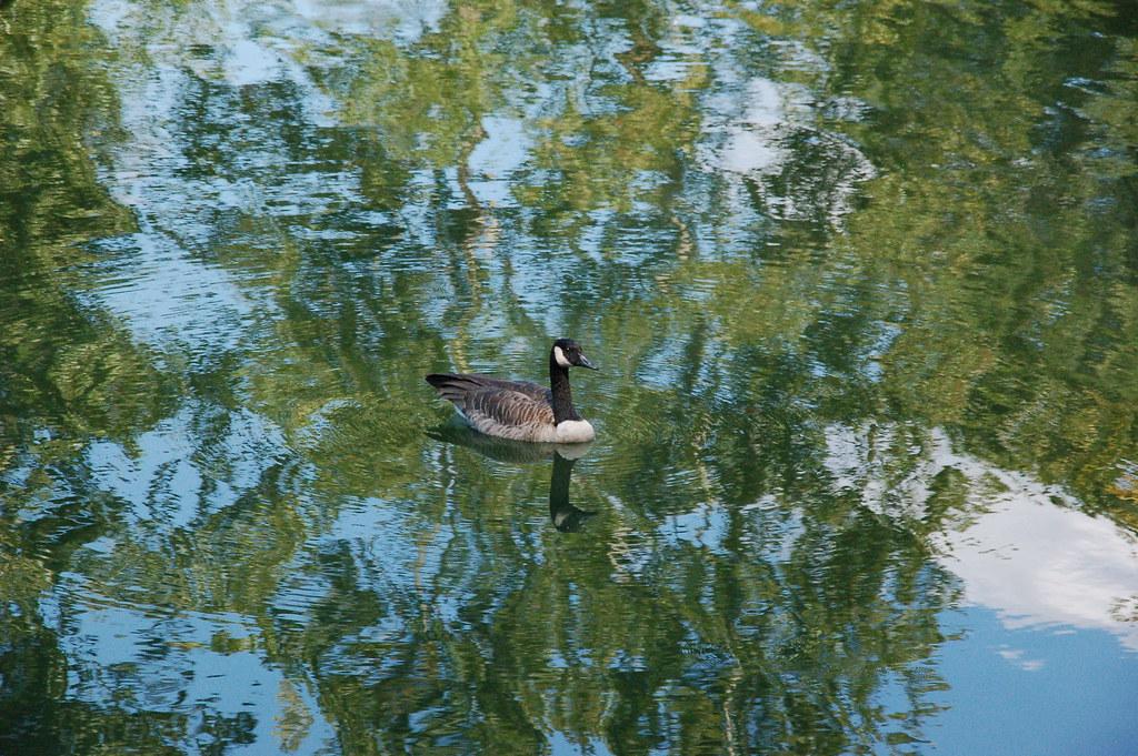 2011 09 12 Claude Monet Goose Steele Creek Park Bristol Flickr