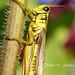Red-legged Locust