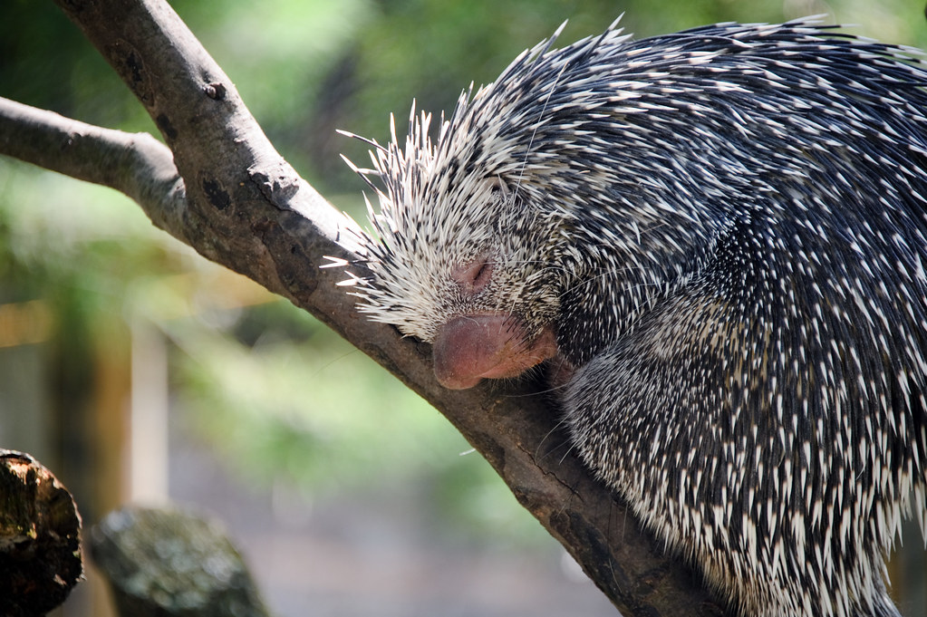 Prehensile Tailed Porcupine | sleeping in a tree | Eric ...