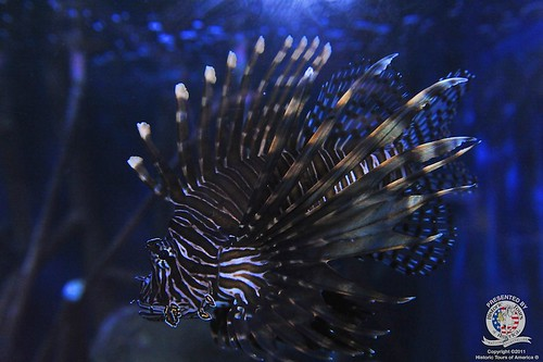 Lionfish | by keywest aquarium
