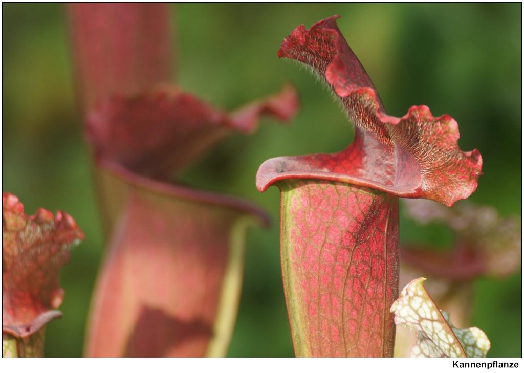 kannenpflanze nepenthaceae eine fleischfressende. Black Bedroom Furniture Sets. Home Design Ideas