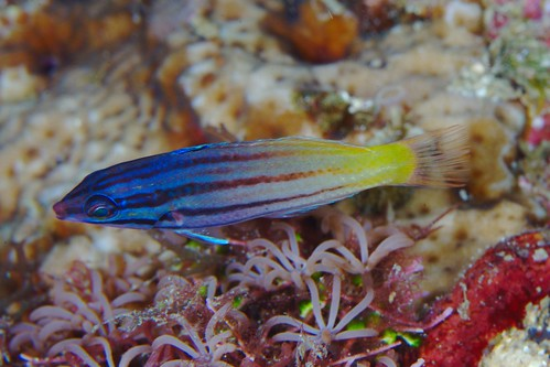 Wrasse | by PacificKlaus