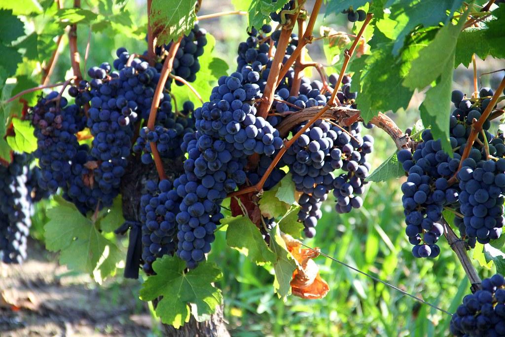Merlot grapes ready for harvest at the Pomerol Vinyard near ...