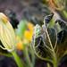 Squash Flower & Wilted Leaf
