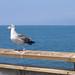 Venice Beach - Bird